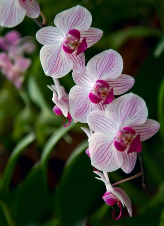 beautiful rare: Beautiful Rare Violet Orchid  with blur green leaf  Stock Photo