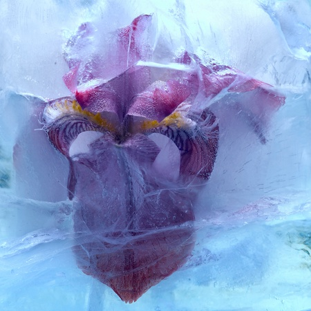 Frozen beautiful   iris flower.  blossomsin the ice cube  photo