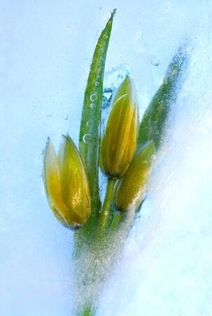 Frozen beautiful   tulip flower.  blossomsin the ice cube  photo