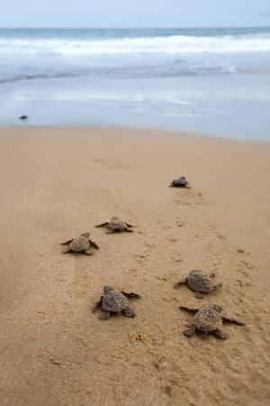 it's: Baby turtles making its way to the ocean