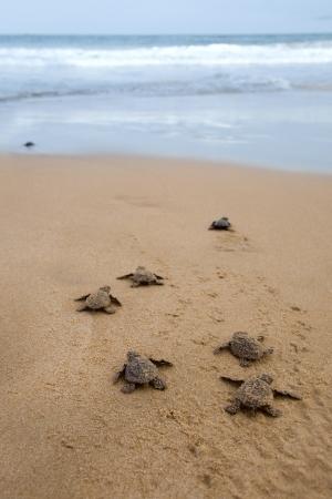 small reptiles: Tartarughe bambino che la sua strada verso l'oceano