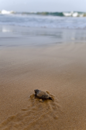 Baby turtles making its way to the ocean photo