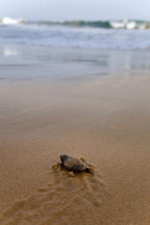 tortuga: Tortugas beb� que hace su camino hacia el oc�ano