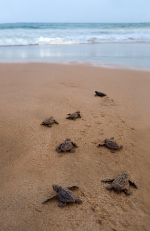 water turtle: Baby turtles making its way to the ocean