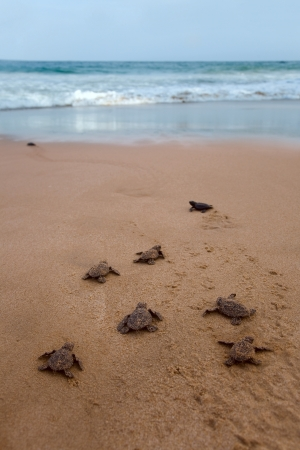 Newly hatched baby Loggerhead  turtle toward the ocean  Banco de Imagens
