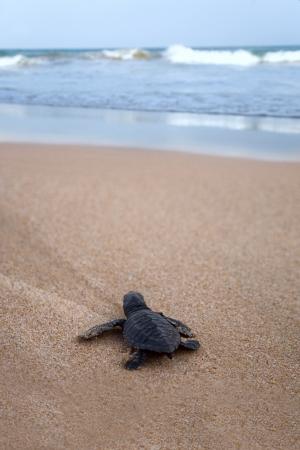 新たに孵化した赤ちゃんが海に向かってアカウミガメ 写真素材