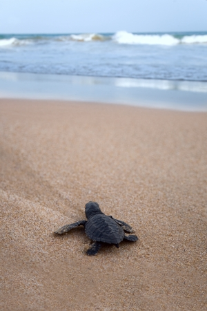beach animals: Newly hatched baby Loggerhead  turtle toward the ocean  Stock Photo