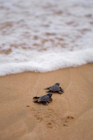 바다 거북이 출현 : 그룹에서 거북이가 등장하여 해변까지 물웅덩이를 기어 기어갑니다. 스톡 콘텐츠 - 33140427