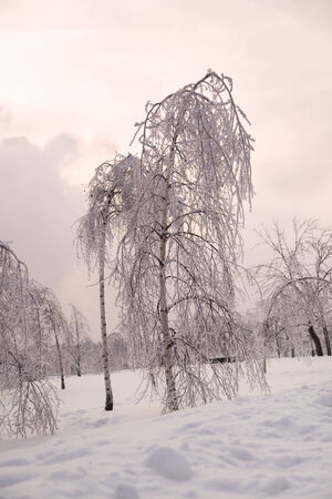 park with birch trees in ice in Winter forest in 2010 year in Russia photo
