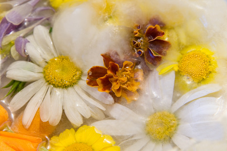 winter thaw: Frozen  fresh beautiful   flower of   chrysanthemum  and air bubbles in the ice  cube Stock Photo