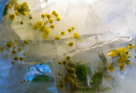 Frozen  fresh beautiful   flower of barberry and air bubbles in the ice  cube photo