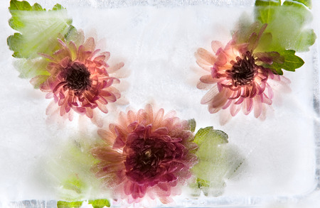 Frozen  fresh beautiful   flower of   chrysanthemum  and air bubbles in the ice  cube photo