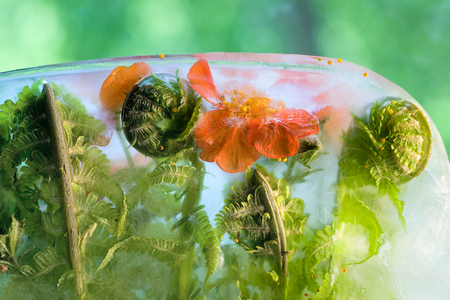 Frozen  fresh beautiful   flower of   bennet  and air bubbles in the ice  cube photo