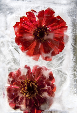 Frozen  fresh beautiful   flower of   Gerbera  and air bubbles in the ice  cube photo