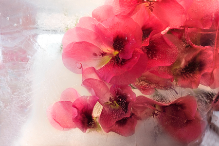 Frozen  fresh beautiful   flower of   geranium  and air bubbles in the ice  cube photo