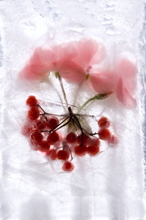 Frozen  fresh beautiful   flower of   geranium, red  berry   and air bubbles in the ice  cube photo