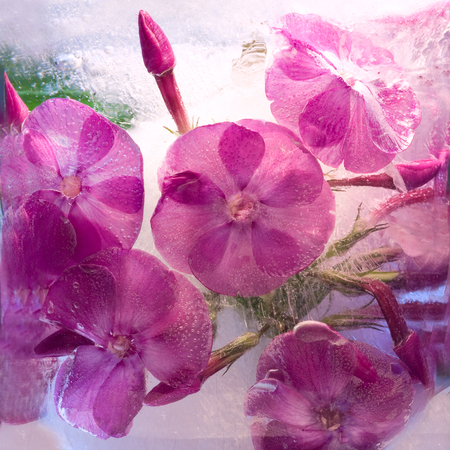 Frozen  fresh beautiful   flower of   phlox  and air bubbles in the ice  cube photo