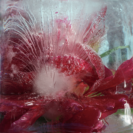 pion: Frozen  fresh beautiful   flower of    peony  and air bubbles in the ice  cube