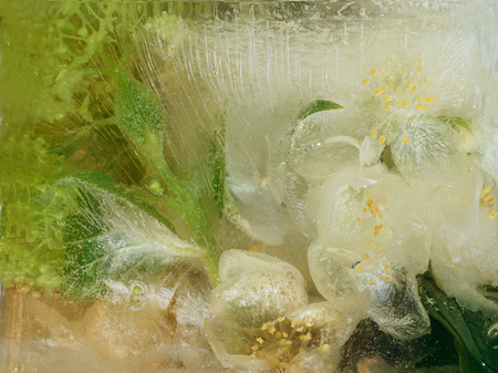 jessamine: Frozen  fresh beautiful   flower of  jessamine, hydrangea  and air bubbles in the ice  cube Archivio Fotografico