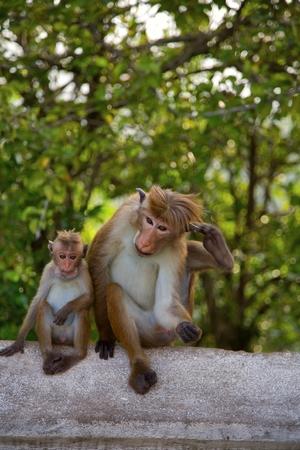 toque: Monkey in Sri Lanka, Toque Macaque.
