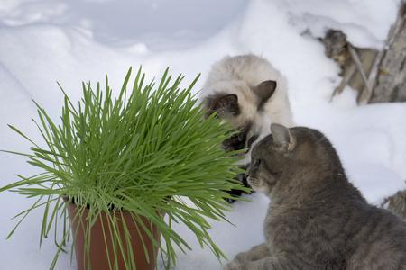 Green grass in a flowerpot. Cat eating grass useful Stock Photo