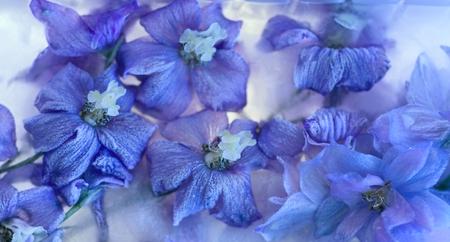 Flowers of   delphinium frozen in ice, art winter background. Reklamní fotografie