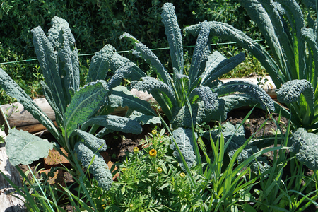 Kale cabbage. Tuscan kale or black kale on plant. Winter cabbage also known as italian kale or lacinato growth in row. Ogranic cabbage mediterranean garden. Ingredient in italian and turkish cuisine Banco de Imagens - 120638512