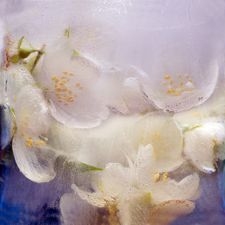 Frozen fresh beautiful flower of jessamine and air bubbles in the ice cube