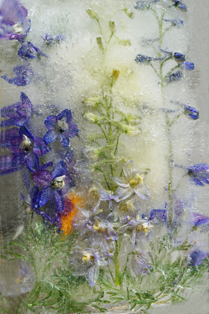 Frozen fresh beautiful flower of delphinium and air bubbles in the ice cube