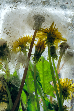 Background of of yellow dandelion flower  with green leaves frozen in ice   cube with air bubbles Banco de Imagens - 120640677