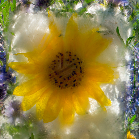 Background of sunflower in ice cube with air bubbles.