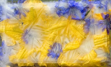 Background of pumpkin,   marrow, zucchini, chicory (succory) flower  in ice   cube with air bubbles