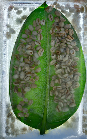 Background of    green coffee beans in leaf of ficus  in ice   cube with air bubbles