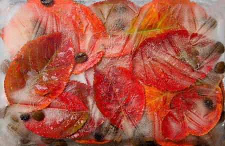 Background of    black  coffee beans  and red leaves t in ice   cube with air bubbles Banco de Imagens
