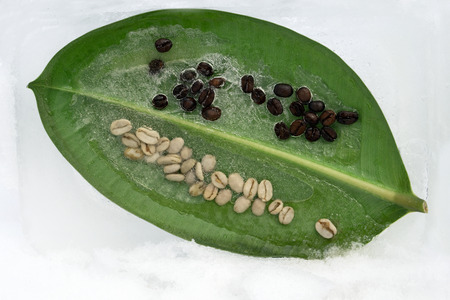 Background of    green and black  coffee beans in leaf of ficus  in ice   cube with air bubbles