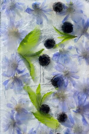 Background    green leaves of mint, berry of blueberry  and flower of chicory   in ice   cube with air bubbles