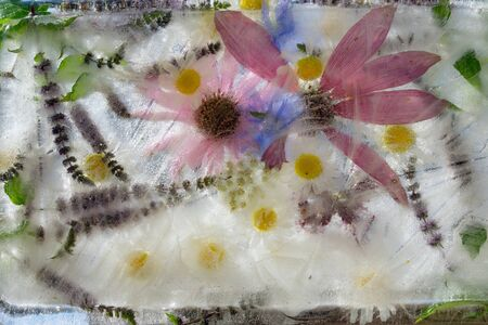 Background    green leaves of mint,   and flower of chicory , camomile , Echinacea  in ice   cube with air bubbles Stockfoto