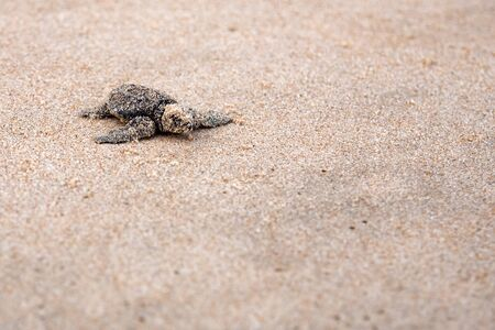 Toward the ocean. Newly hatched baby turtles in a hurry in the watery element Banco de Imagens