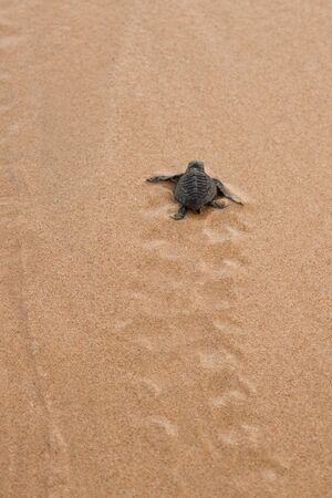 Hatchling Loggerhead  a baby on palm, sri lanla island