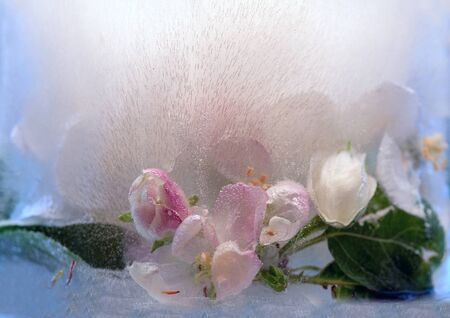 Background of branch apple tree flower in ice cube with air bubbles. Flat lay consept for spring card.