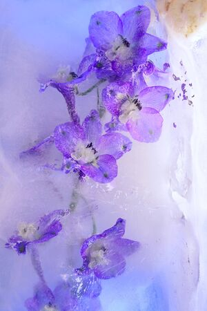 Background of delphinium flower in ice cube with air bubbles. Flat lay consept for season card.