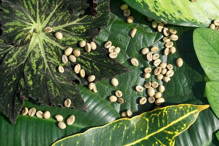 Background of    green coffee beans in leaf of exotic tropical leaves