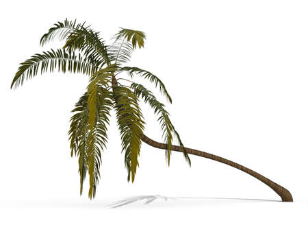 palm tree isolated on white Stock Photo - 8329692