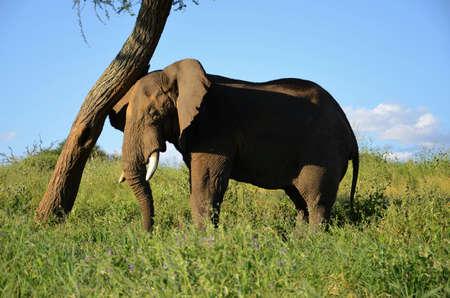 savanna: An elephant leaning on a tree in the savanna.