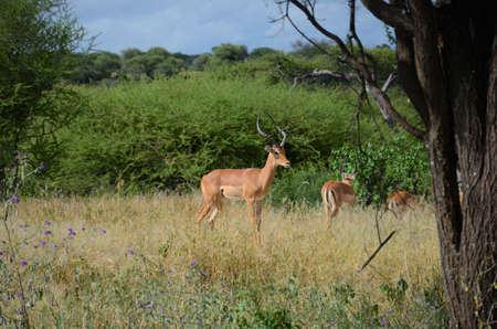 resting: Impalas resting in the savanna.