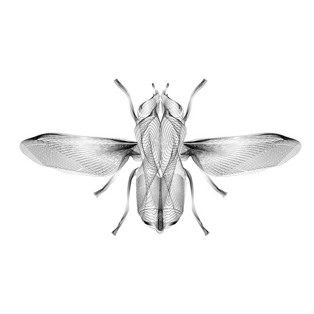 musca: Fly. 3d hologram style vector illustration for prints, bag, tatto or t-shirt.