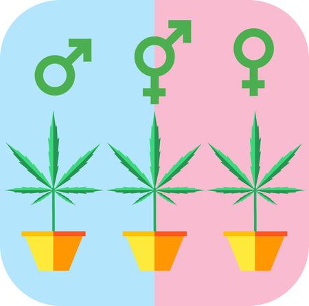 clones: Marijuana growing concept. Male femae hermaphrodite icon. Flat style design vector illustration.