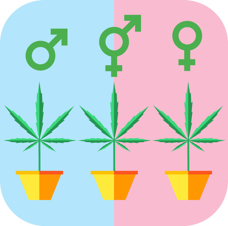 Marijuana growing concept. Male femae hermaphrodite icon. Flat style design vector illustration.