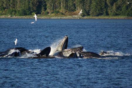 Hunpback walvissen in een Bubble netto-Feeding groep  Stockfoto