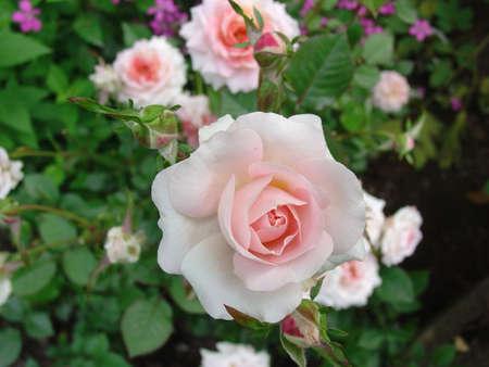 Perfecte Pink Rose Stockfoto